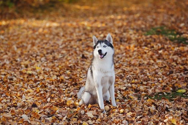 Pies husky syberyjski o niebieskich oczach stoi w lesie jesienią