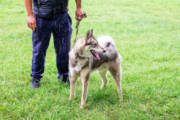 Pies husky szary (laika) na spacerze w parku z panem podczas deszczu