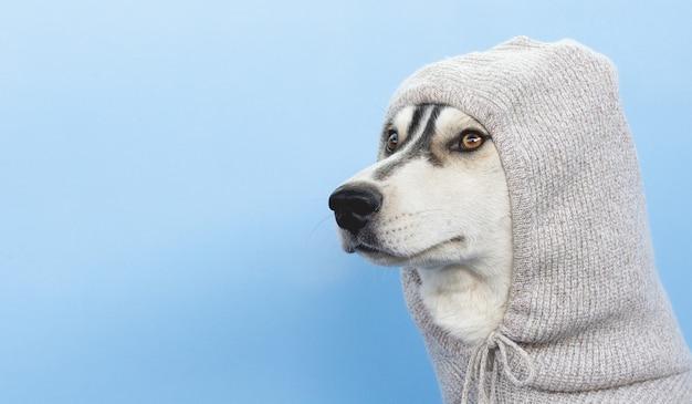 Pies husky w kapturze na niebieskim tle z miejsca na kopię