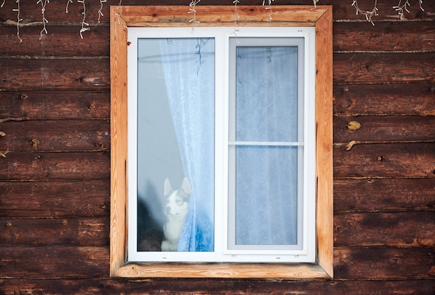 Pies husky w oknie domu. zabawny zwierzak sam w domu