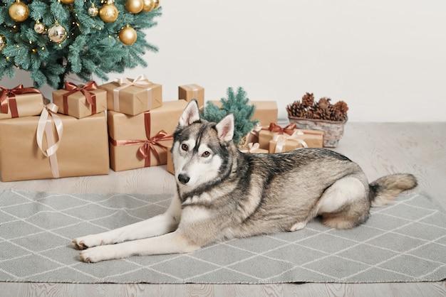 Pies husky w pobliżu prezenty świąteczne