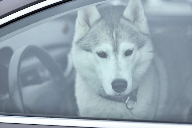Pies husky w samochodzie
