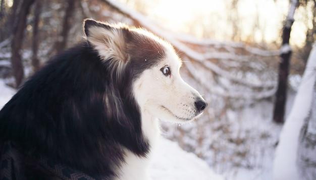 Pies husky z niebieskimi oczami w zimie w lesie o zachodzie słońca patrzy w bok.