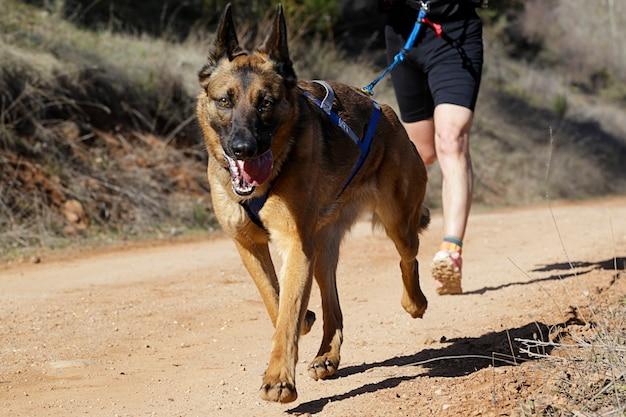 Pies i mężczyzna biorący udział w popularnym wyścigu canicross