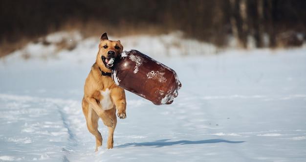 Pies idzie w kierunku kamery, z dużą butelką w zębach, wygląda na szczęśliwego
