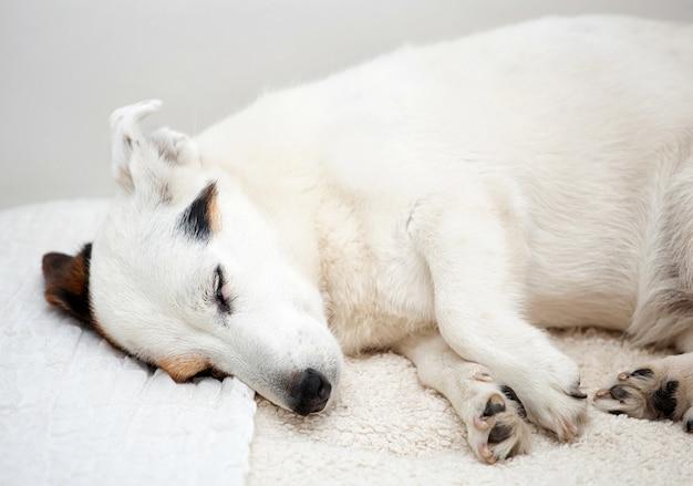 Pies jack russell śpi na białej kanapie w domu.