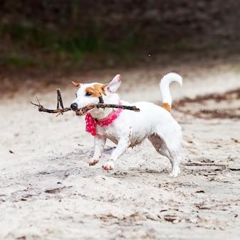Pies jack russell terrier bawi się dużym kijem na piaszczystej plaży