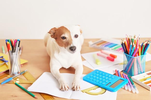 Pies jack russell terrier na stole w pobliżu przyborów szkolnych
