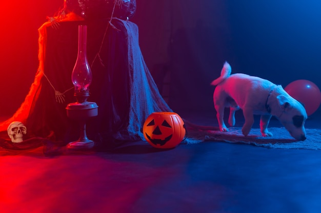 Pies jack russell terrier na tle halloween