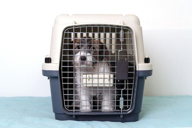 Pies jack russell terrier w specjalnej plastikowej szarej klatce.