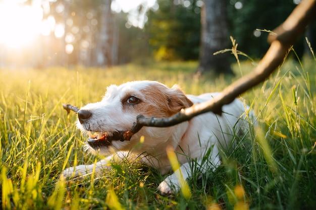 Pies jack russells leży na ziemi na zielonej trawie w miejskim parku latem i ładuje kij
