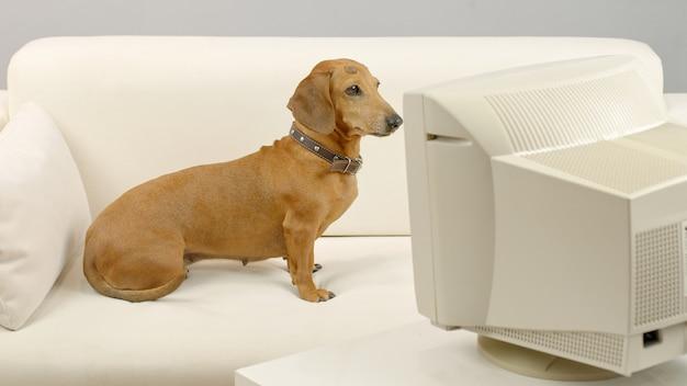 Pies jamnik siedzi na kanapie przed starym komputerem zwierzę patrzy na ekran komputera