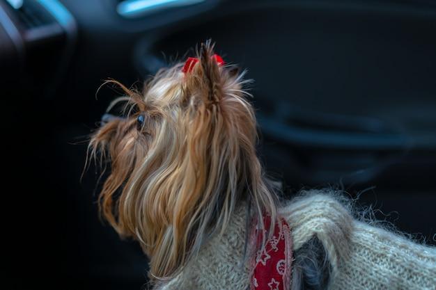 Pies jest w samochodzie