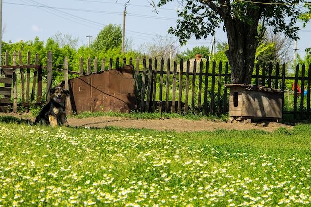 Pies kundel na łańcuchu we wsi strzegący zagrody. pies na podwórku