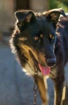 Pies kundel z wystającym językiem na łańcuszku przy słonecznej pogodzie.