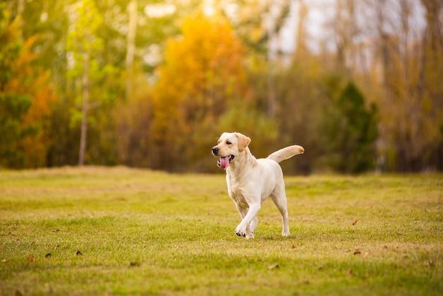 Pies labrador biegnie w jesiennym lesie.