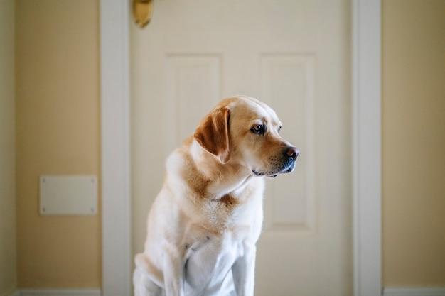 Pies labrador w domu