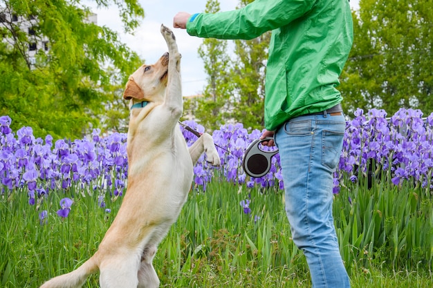 Pies labrador wykonuje polecenia.
