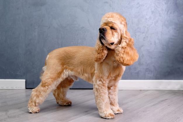 Pies lekko się odwraca. ciało psa zostaje uporządkowane w salonie pielęgnacyjnym. piękna fryzura na każdy dzień
