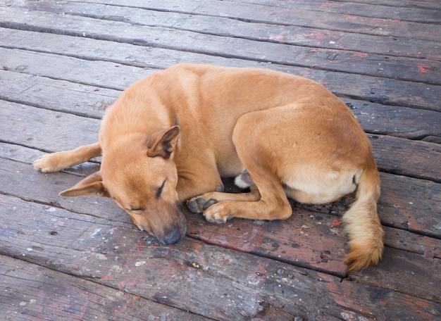 Pies leniwy