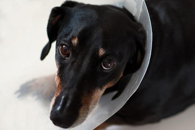 Pies leżący chory z plastikową obrożą elżbietańską weterynarza na szyi. jamnik weterynarz