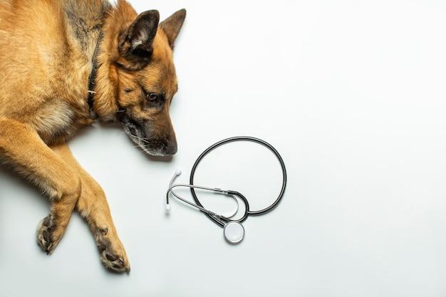 Pies leży i lekarz stetoskop na jasnym tle. koncepcja kliniki weterynaryjnej, schronienia, weterynarza, pomocy dla zwierząt.