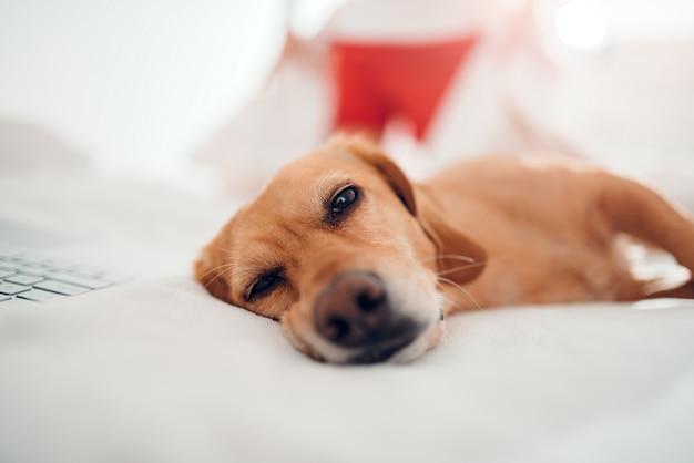Pies leży na białym łóżku i śpi