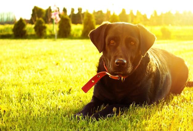 Pies leży na trawie