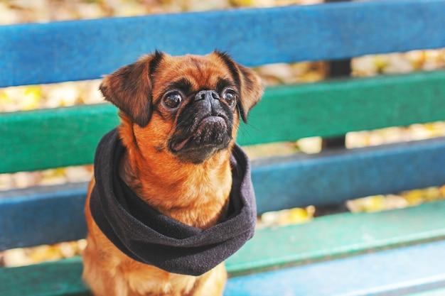 Pies mały brabanson z kasztanowym kolorem w szalik siedzi na benc