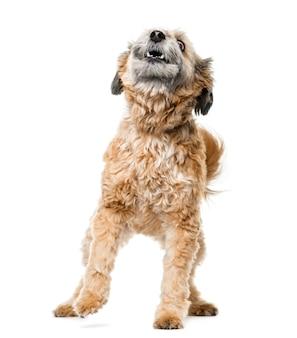 Pies mieszaniec szczeka przed białą ścianą
