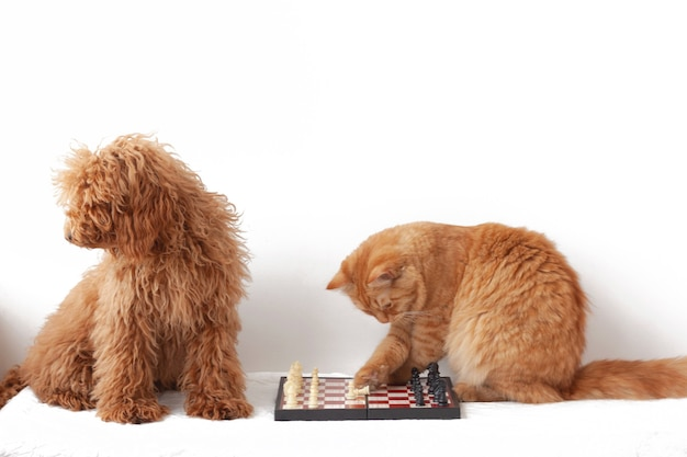 Pies miniaturowy czerwonobrązowy i czerwony kot siedzą obok szachownicy, pudel odwrócił się, kot dotyka postaci łapą.