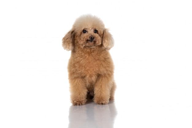 Pies miniaturowy pudel