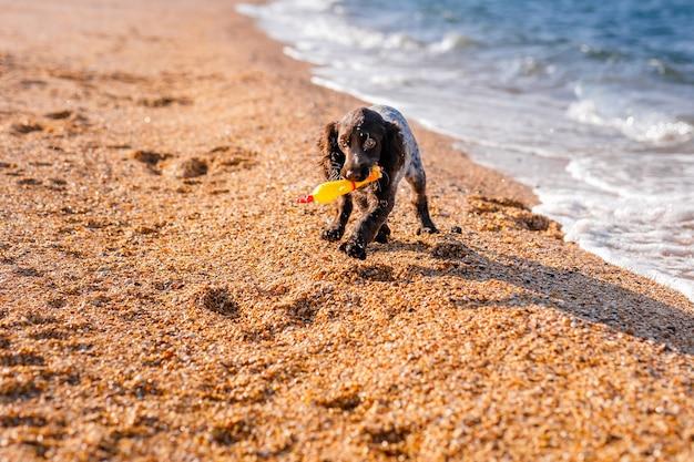 Pies młody springer spaniel bawi się zabawkami na podłodze na brzegu morza.