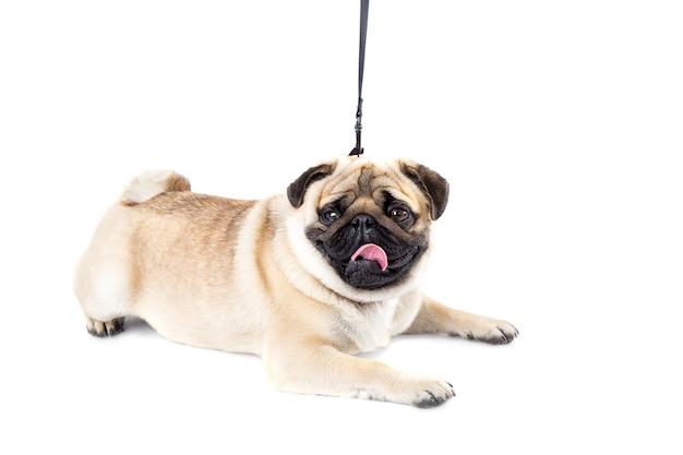 Pies mops białe tło na smyczy