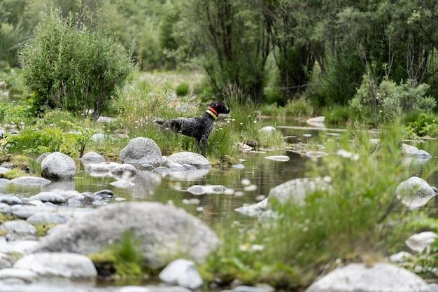 Pies myśliwski odpoczywający na trawie, niemiecki pies myśliwski