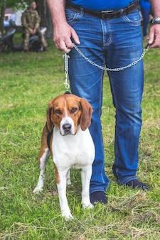 Pies myśliwski rasy ogar estoński obok swojego właściciela