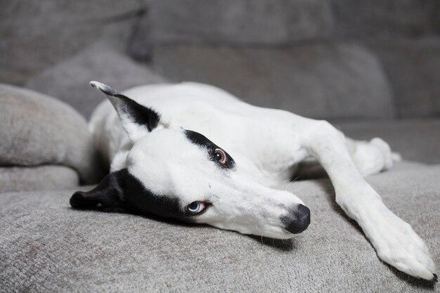Pies na kanapie. greyhound w domu na miękkim szarym fotelu