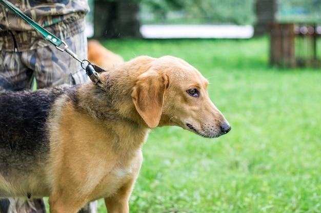 Pies na smyczy podczas spaceru