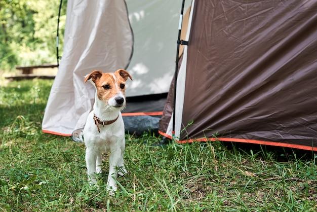 Pies na trawie w letni dzień. jack russel terrier portret szczeniaka