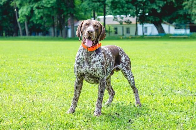 Pies niemiecki krótkowłosy jest tego wart na trawniku w parku