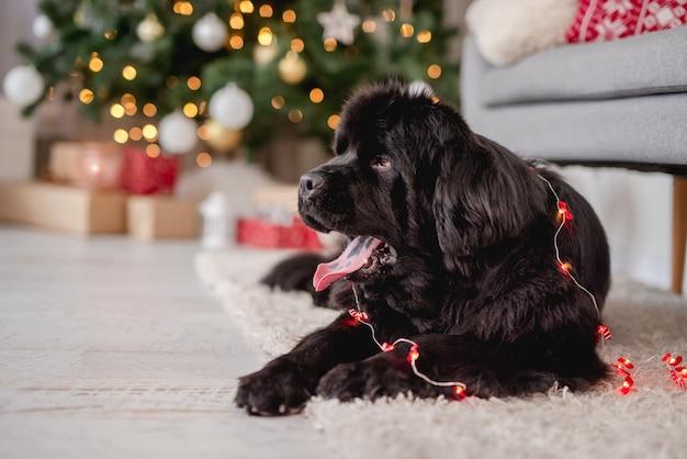 Pies nowofundlanda związany w wianek w domu