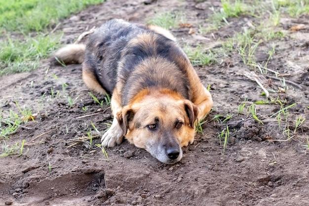 Pies o smutnym spojrzeniu leży w ogrodzie na ziemi