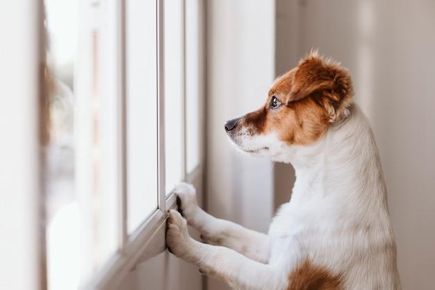 Pies odwracający wzrok przez okno w domu