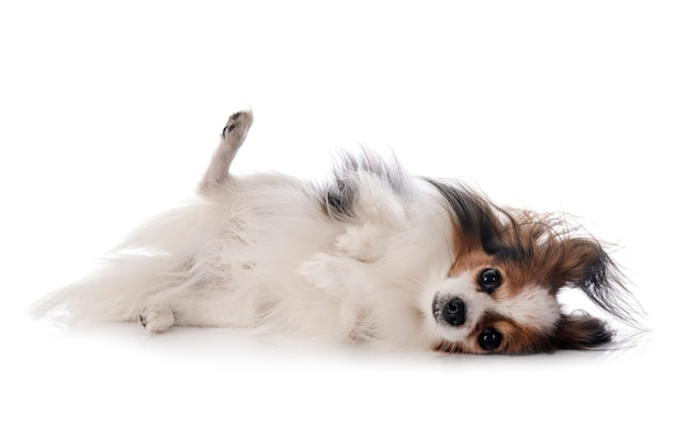Pies papillon na białym tle