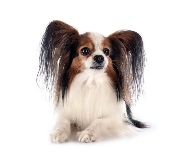Pies papillon przed białym tle