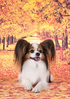 Pies papillon przed jesienną ścianą