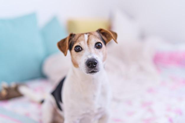 Pies patrząc na kamery, portret jack russell terrier w pastelowych wnętrzach sypialni
