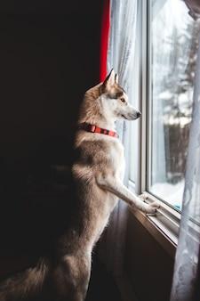 Pies patrząc na zewnątrz okna