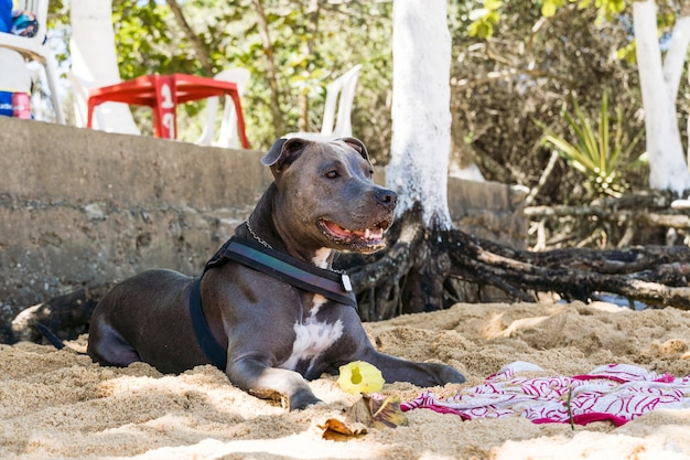Pies pit bull bawiący się na plaży, cieszący się morzem i piaskiem. słoneczny dzień. selektywne skupienie.