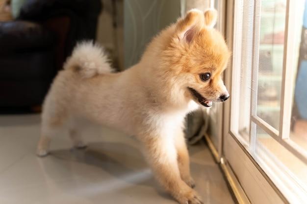 Pies pomorski czeka, aż ktoś otworzy drzwi. ładny szczeniak siedzi przy drzwiach wejściowych patrząc na zewnątrz